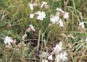 Esti mécsvirág