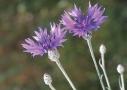 Kék búzavirág