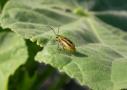 Amerikai kukoricabogár