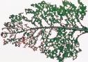 Pajzsos labodabogár