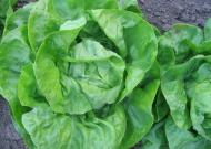 Fejes saláta (zárt termesztőberendezésben, hajtatott)