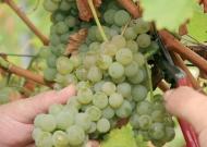 Szőlő (szőlőiskola, szaporító anyag előállítás)