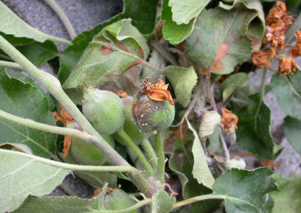 Fert?zött termésen kiütköz? exkrétum-cseppek