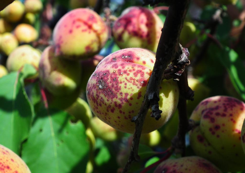 Gomba okozta termésfoltosodás - kajszin
