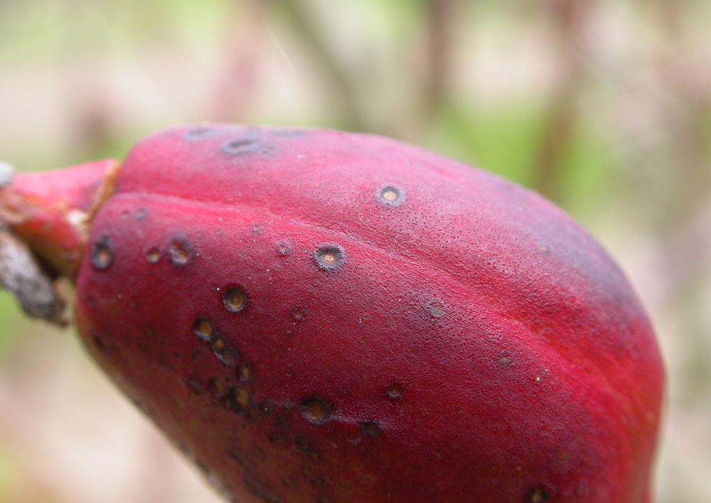 Gomba okozta termésfoltosodás - nektarin