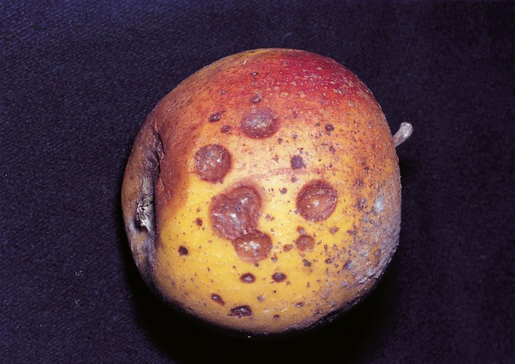 Tárolási betegségként jelentkez? termésrothadás