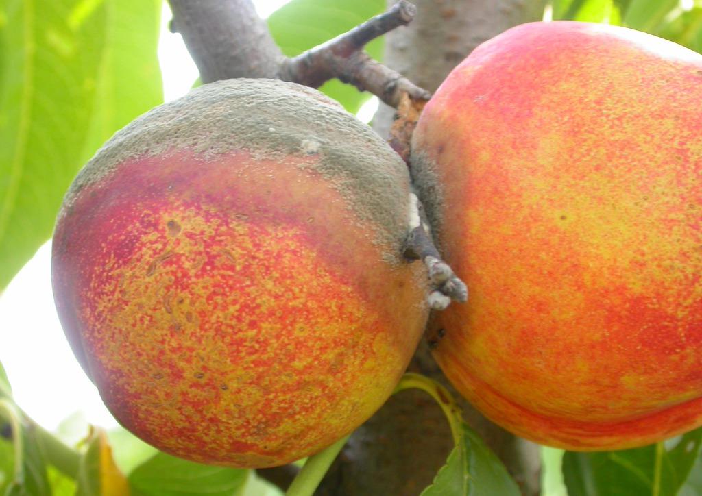 M. fructicola okozta gyümölcsrothadás a két barack találkozási pontjáról kiindulva