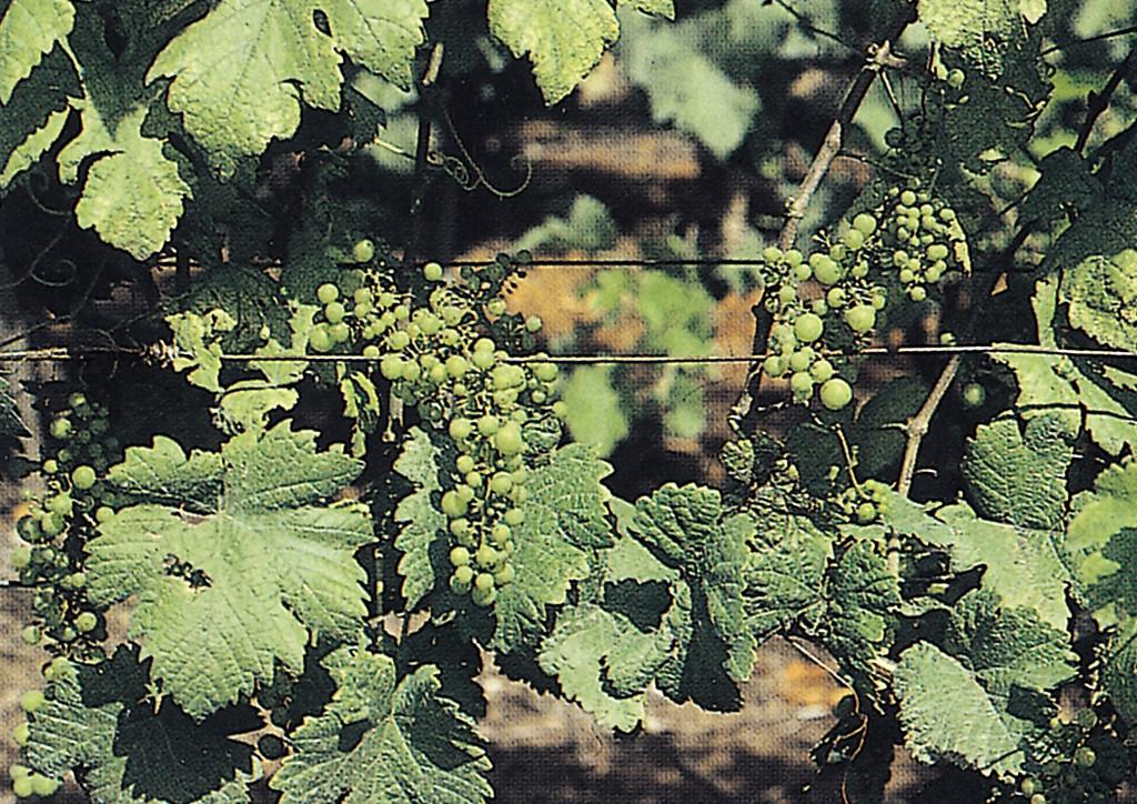 Gombatokszin okozta terméselrúgás