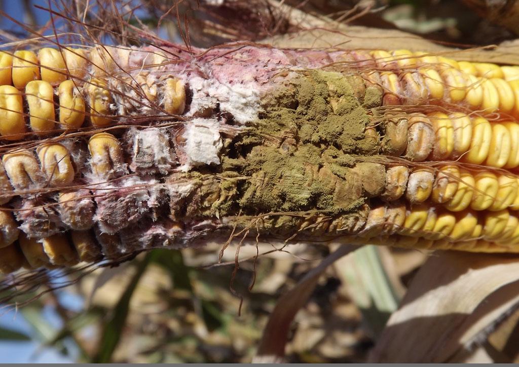 Fus gramin es Aspergillus egyszerre Foto Mesterhazy Ákos