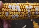 Kukorica fuzáriumos verticilloides okozta csőpenészesedése