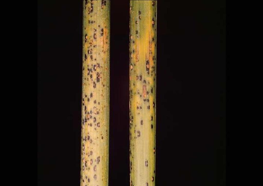 Teliospórák száron (kitartó alak)