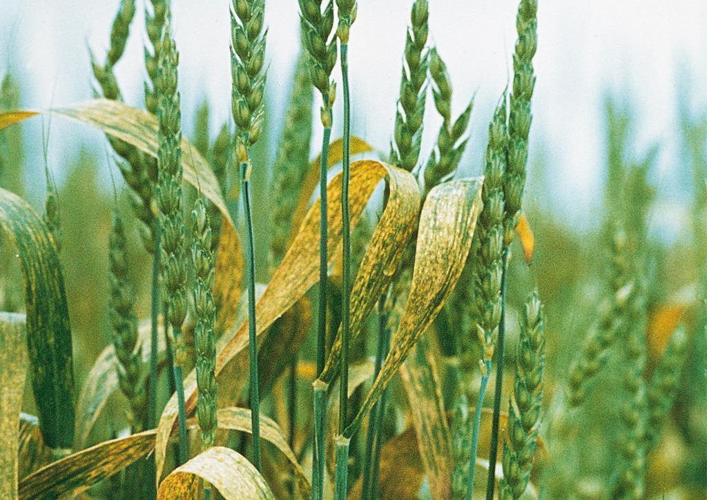 Erősen fertőzött növényállomány