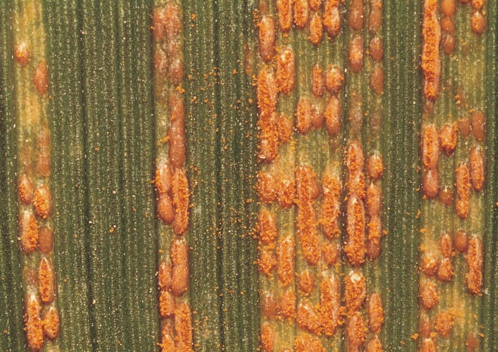 Uredo-telepek mikroszkópikus képe