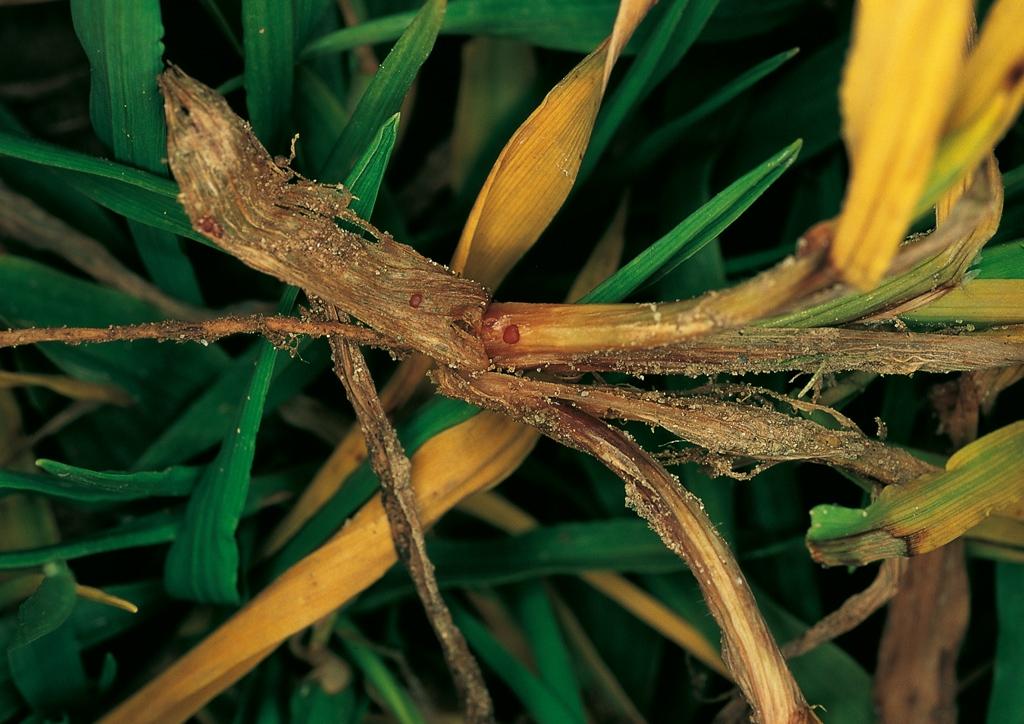 Fiatal növény elhalása