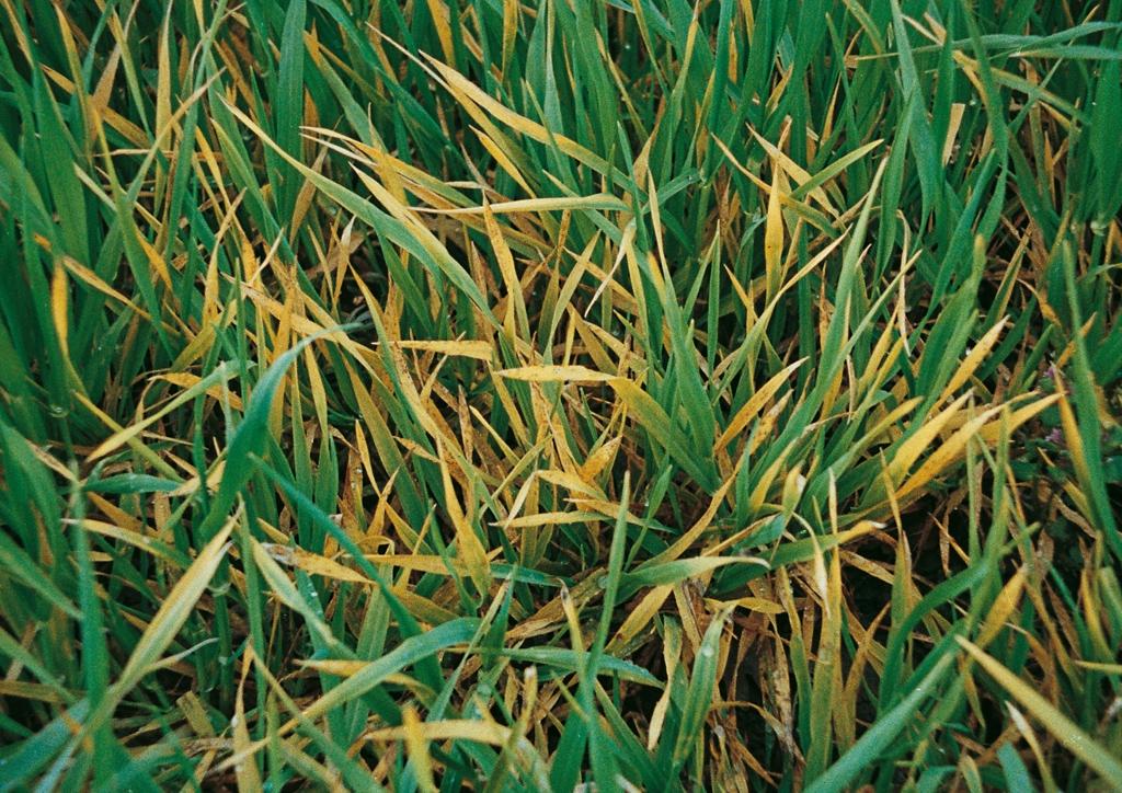 Tifulától szenved? növényállomány