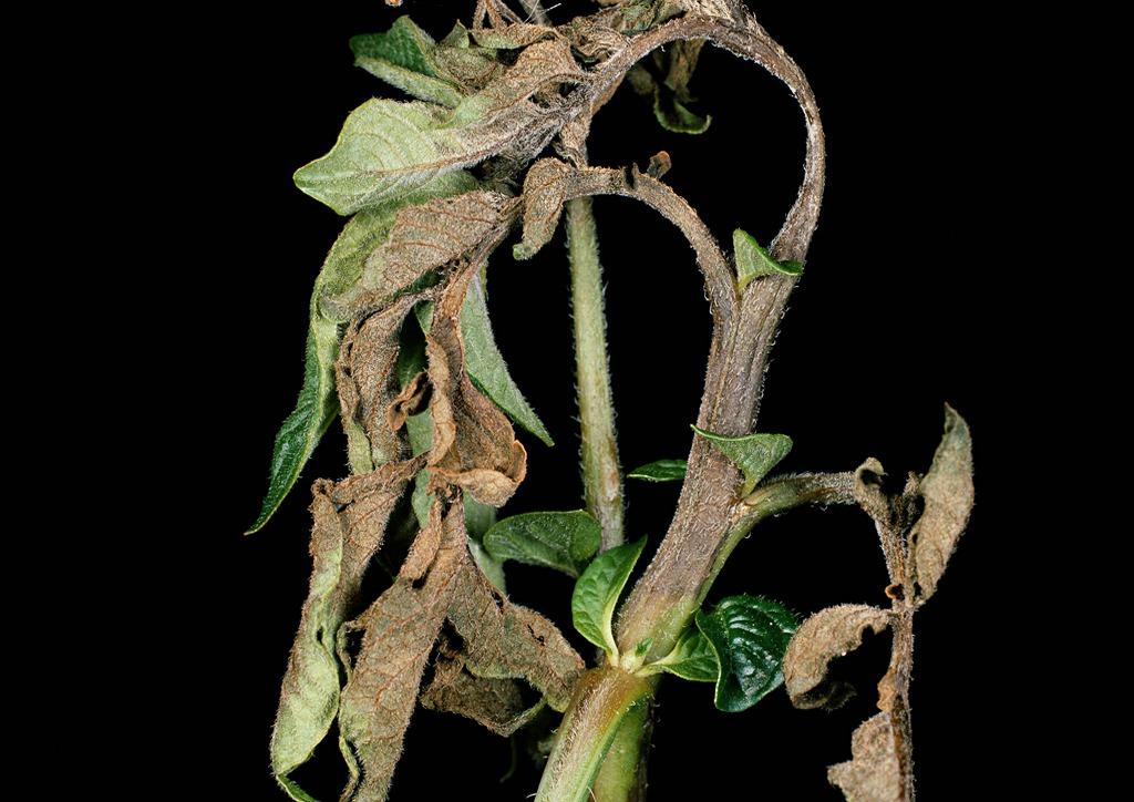Kultúrnövény érzékenysége esetén a szárban is megjelenik