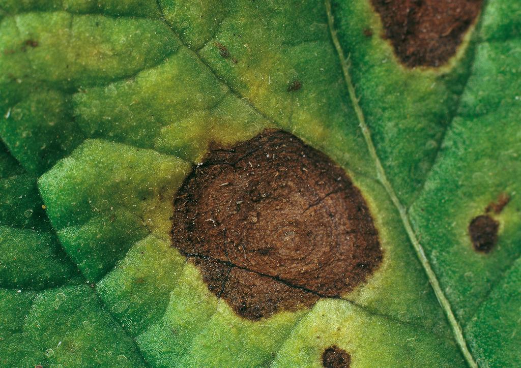 Körkörös folt levélen - burgonya