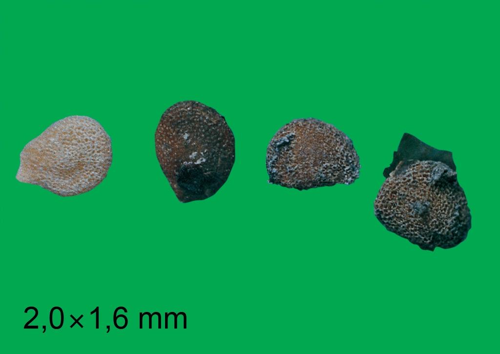 Solanum nigrum - mag