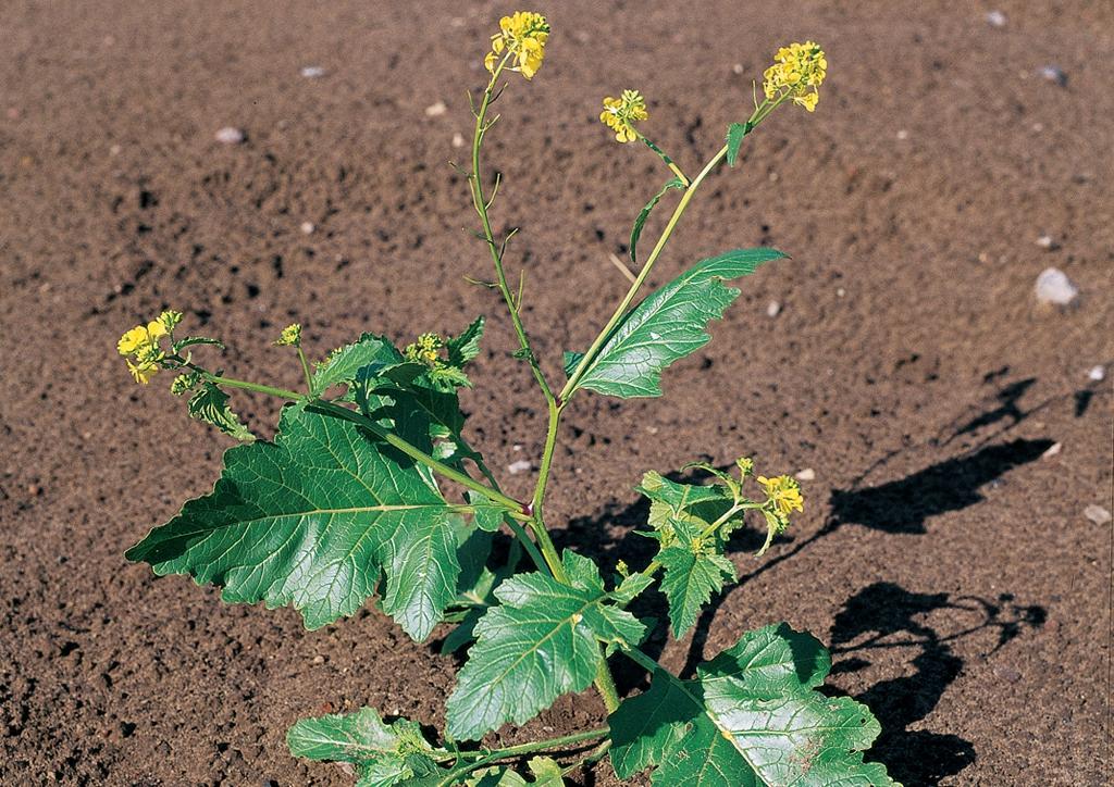 Sinapis arvensis - kifejlett növény