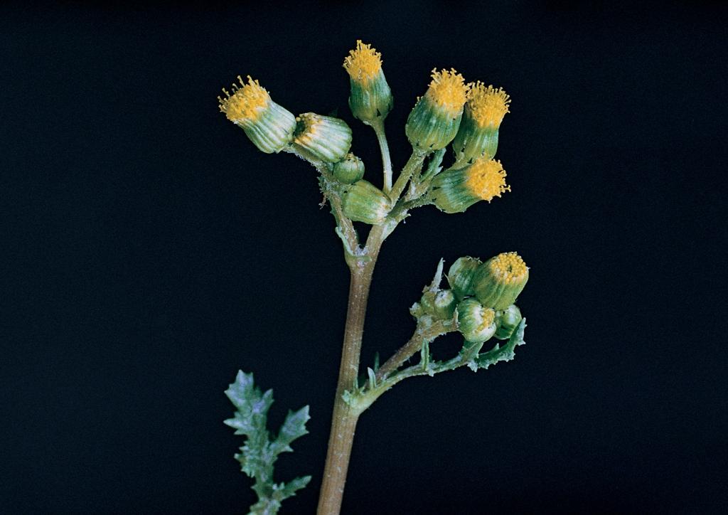 Senecio vulgaris - kifejlett növény