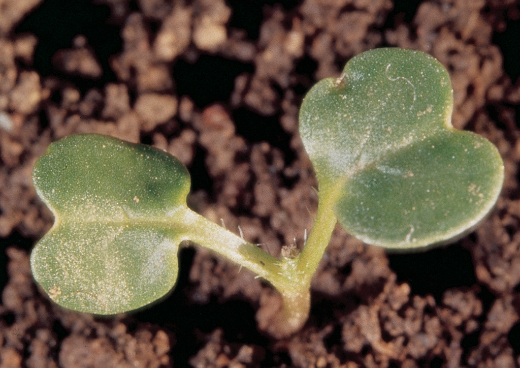 Raphanus raphanistrum - csíranövény