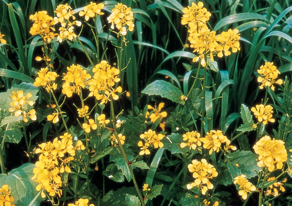 Raphanus raphanistrum - kifejlett növény
