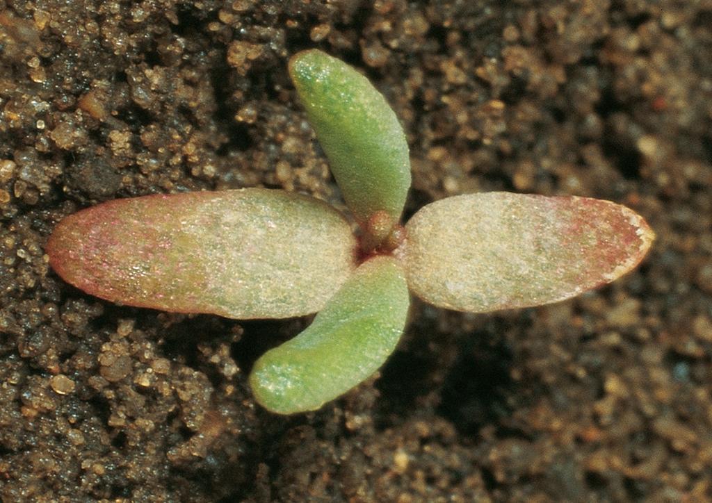 Portulaca oleracea - csíranövény