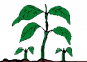 Évelő kétszikű gyomnövények
