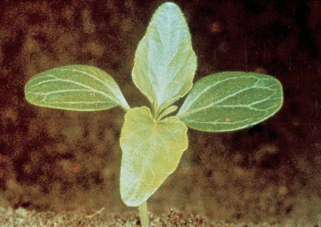 Mercurialis annua - csíranövény