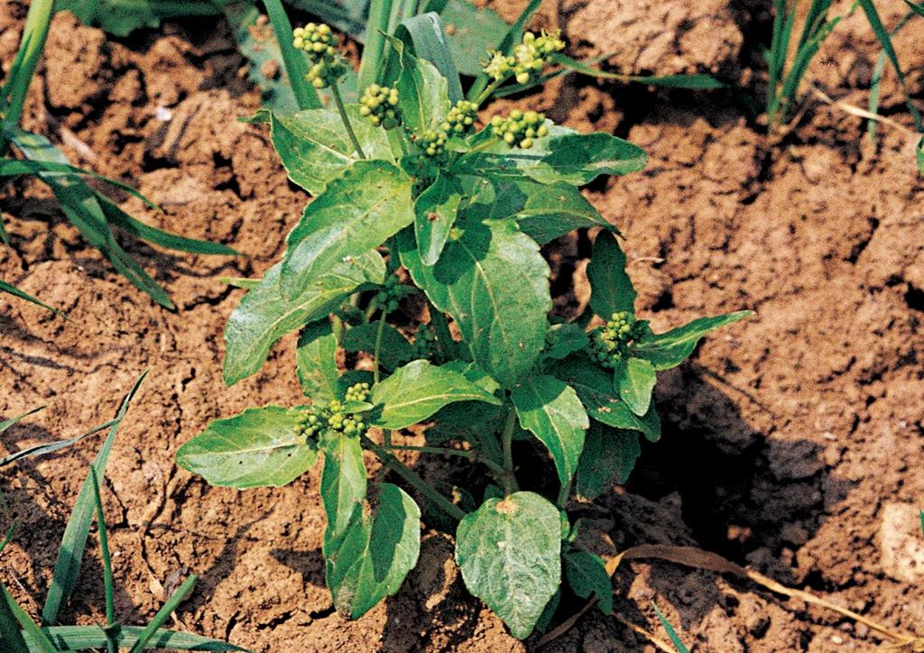 Mercurialis annua - kifejlett növény