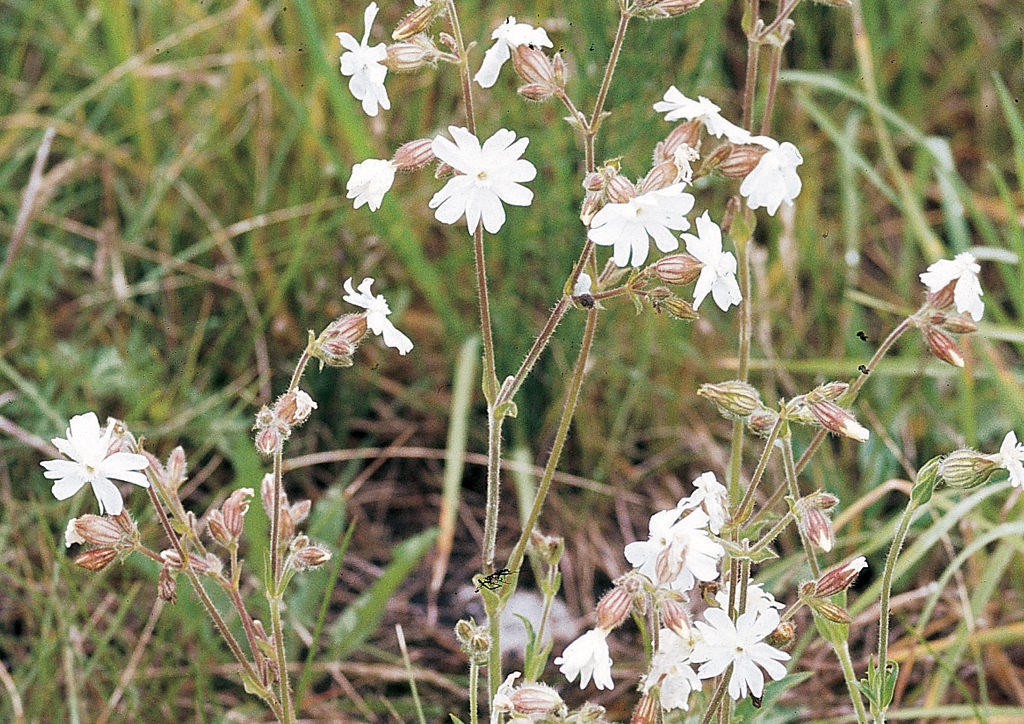 Melandrium noctiflorum - kifejlett növény