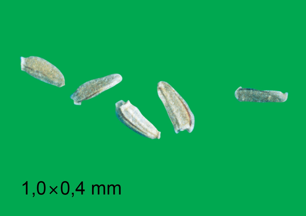 Matricaria matricarioides - mag