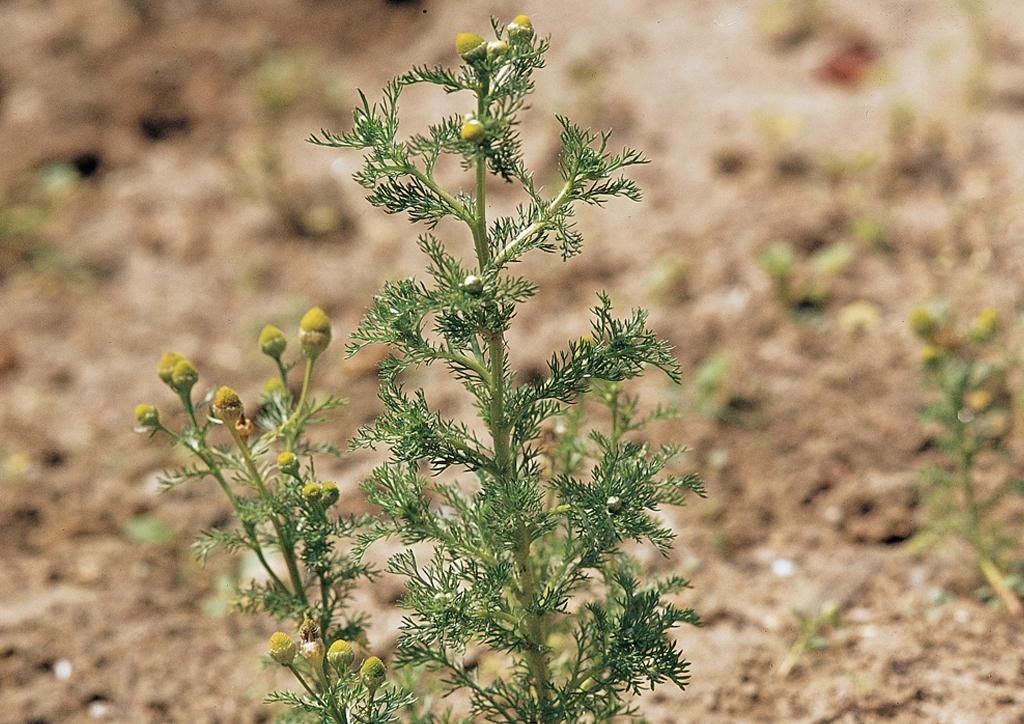 Matricaria matricarioides - kifejlett növény