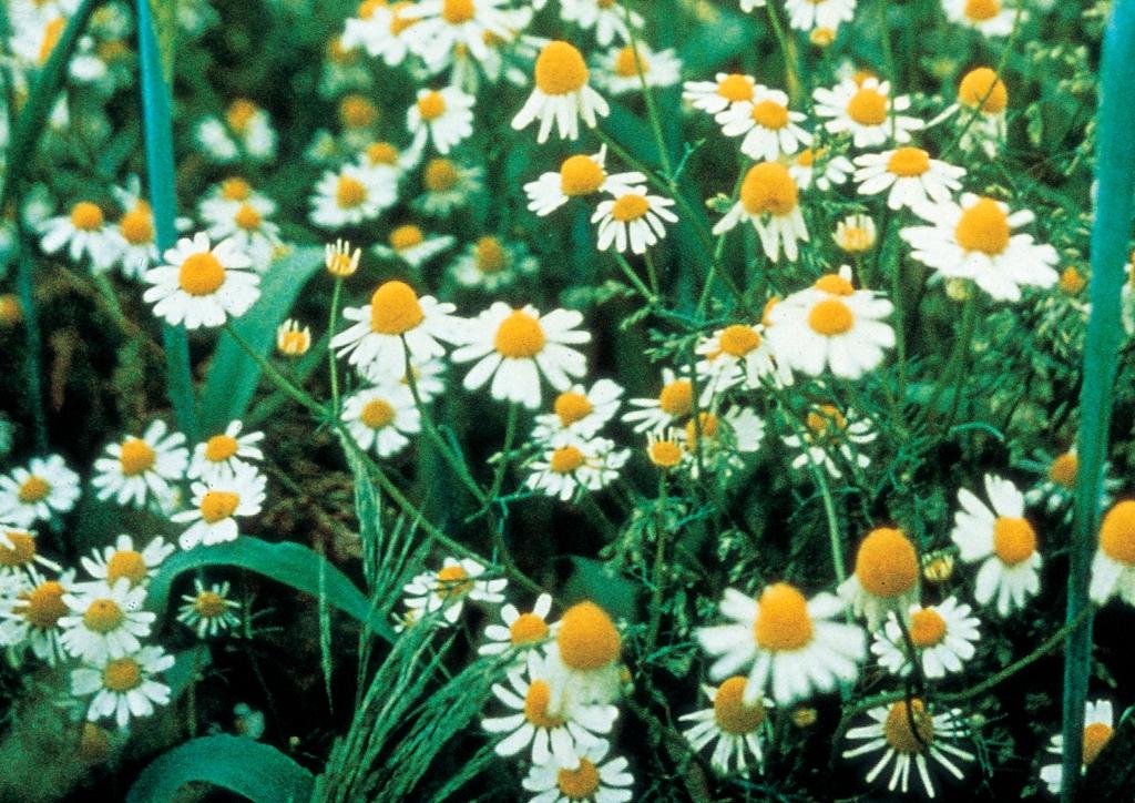 Matricaria inodora - kifejlett növény