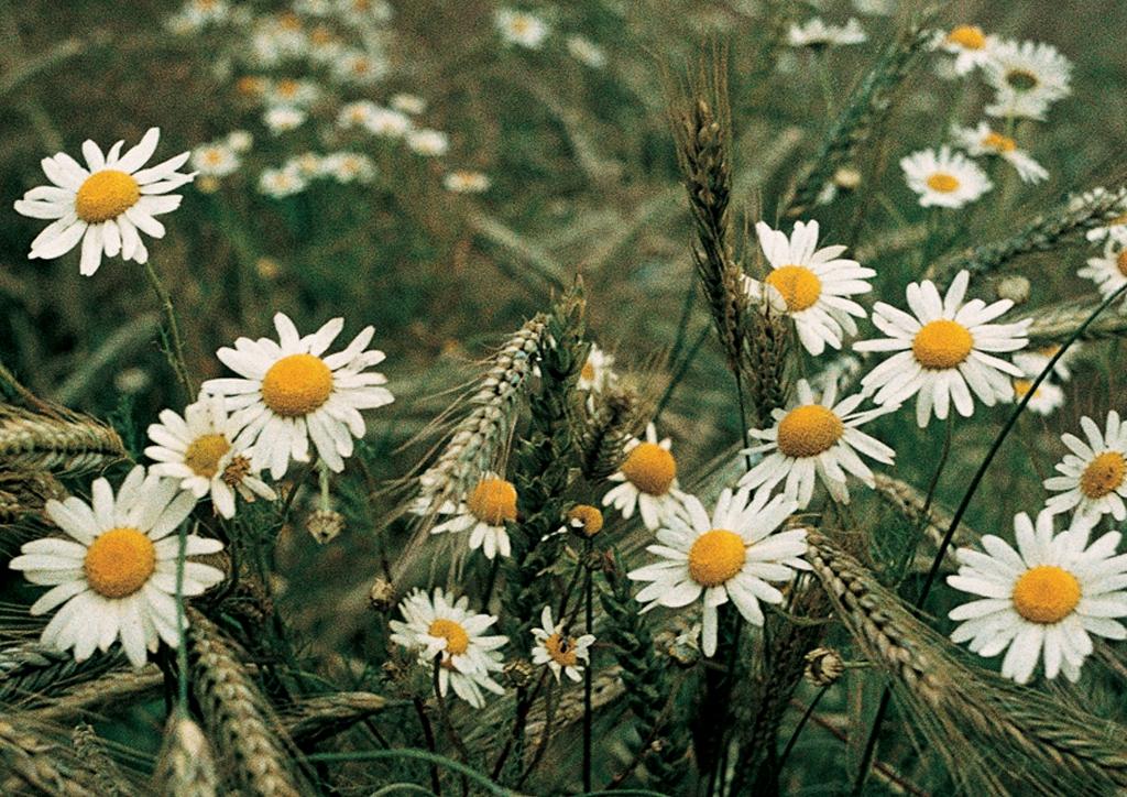 Matricaria chamomilla - kifejlett növény
