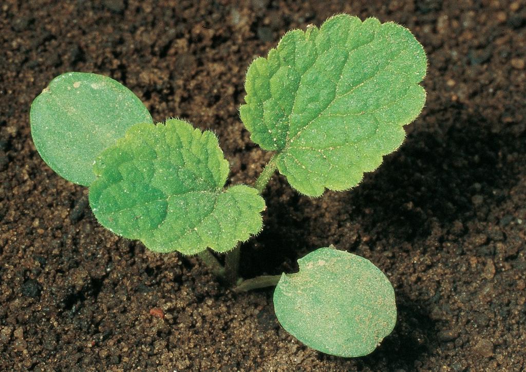Lamium purpureum - csíranövény