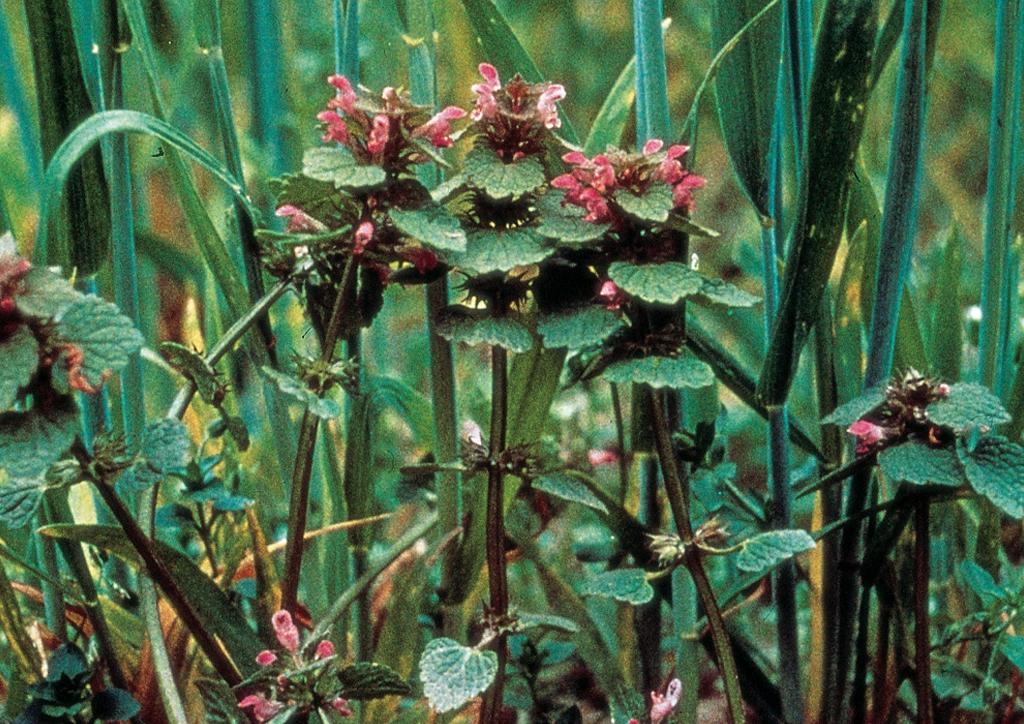 Lamium purpureum - kifejlett növény