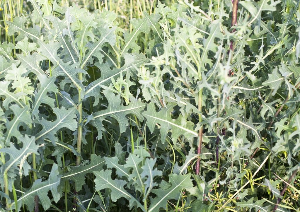 Lactuca serriola - kifejlett növény