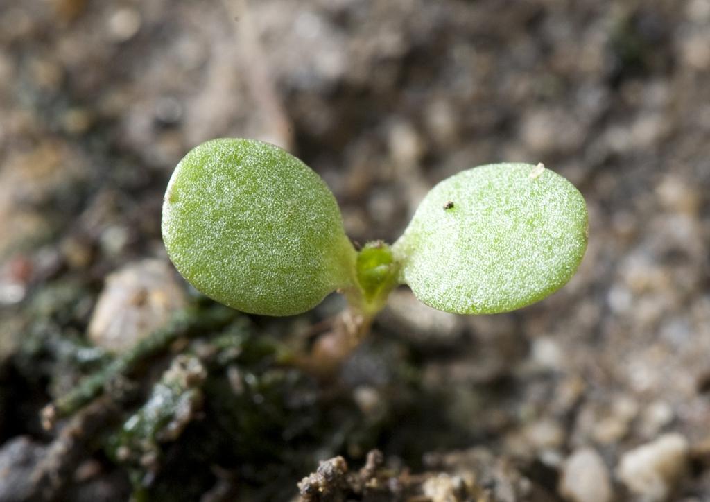 Iva xanthiifolia - csíranövény