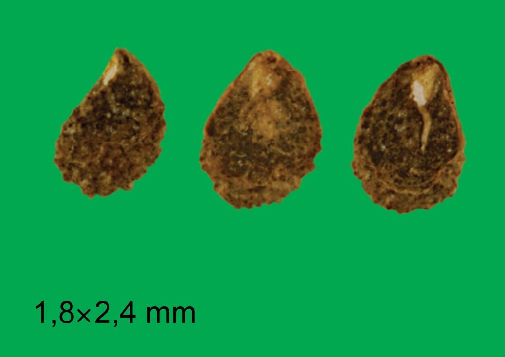 Heliotropium europaeum - mag