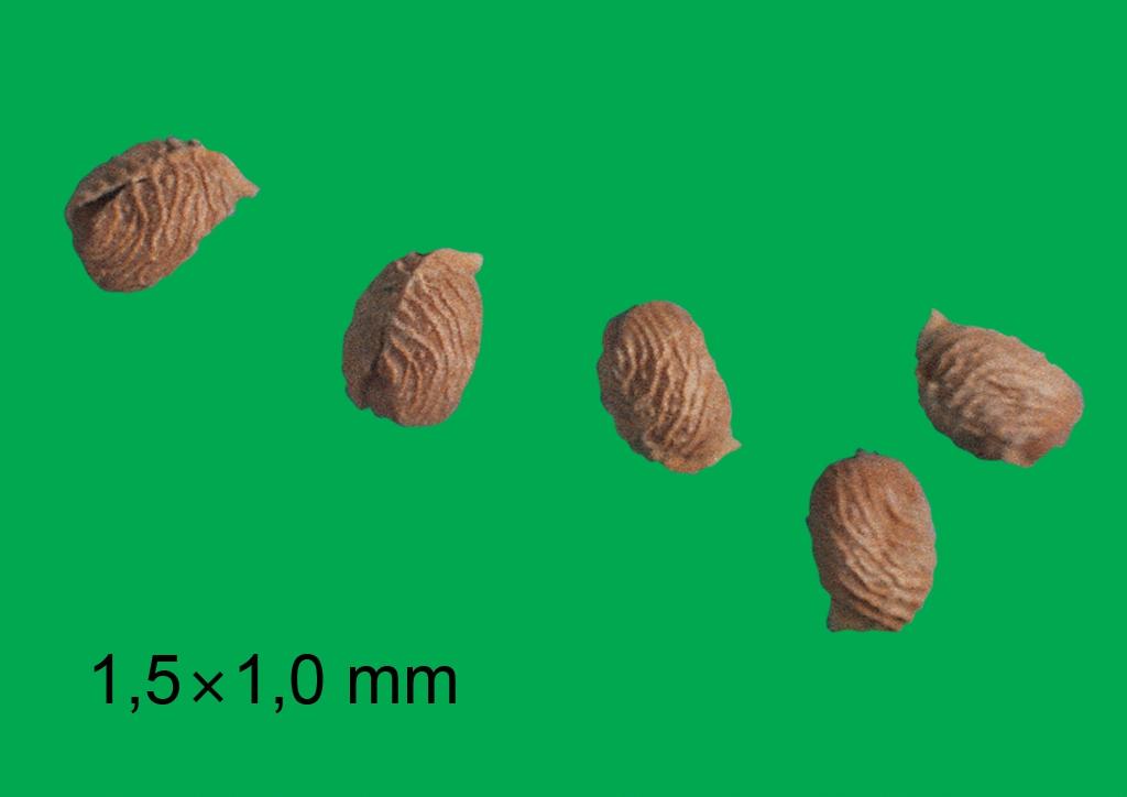 Geranium molle - mag