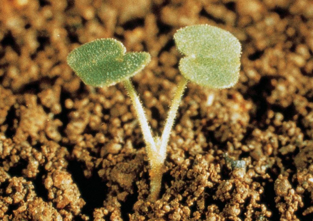 Geranium molle - csíranövény