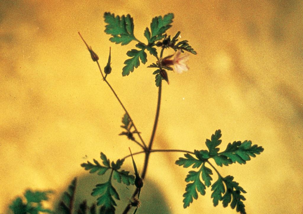 Geranium dissectum - kifejlett növény