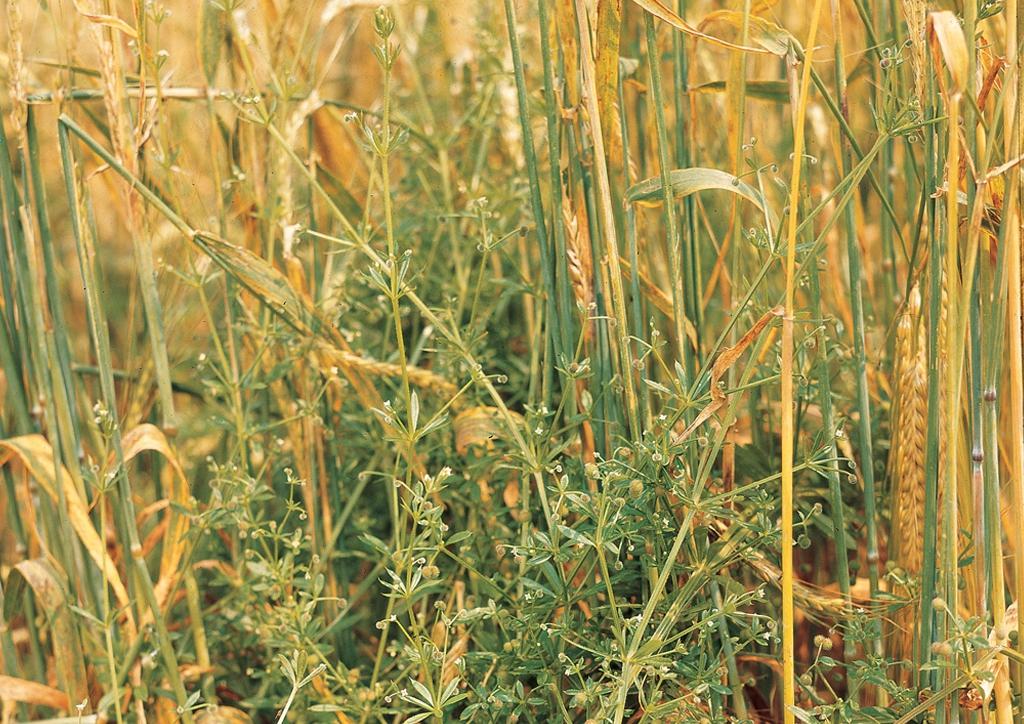 Galium aparine - kifejlett növény