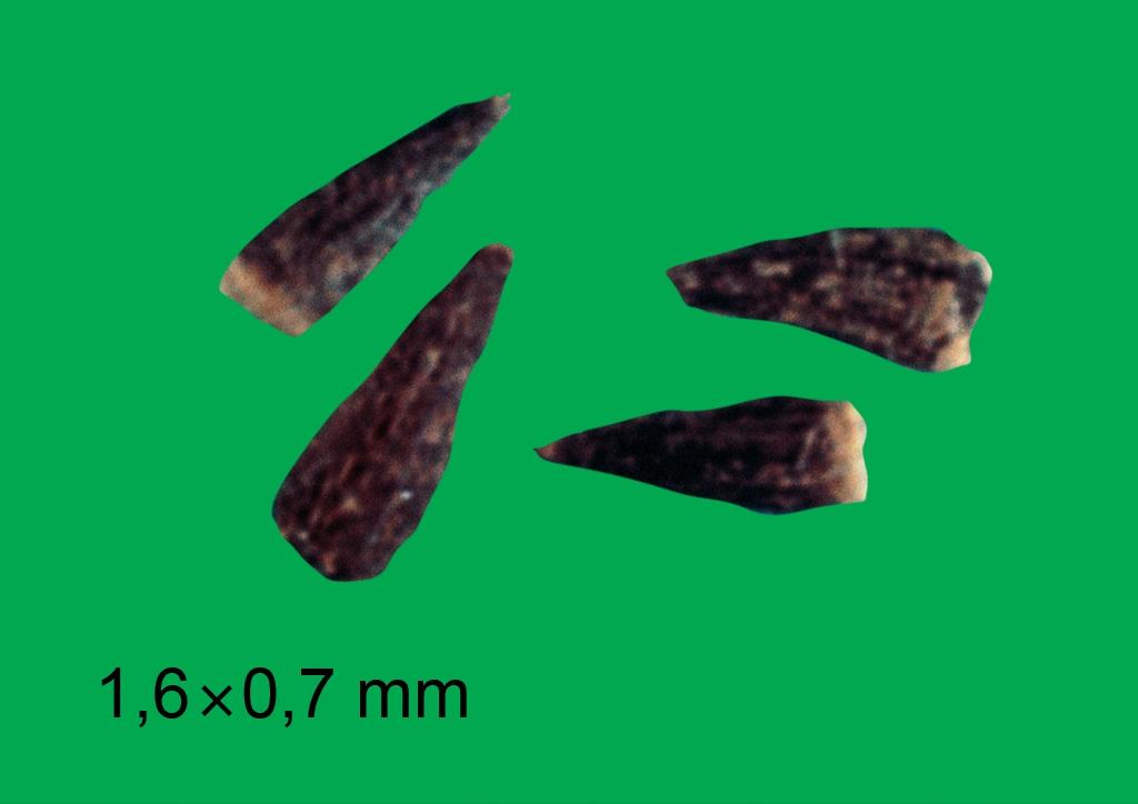 Galinsoga parviflora - mag