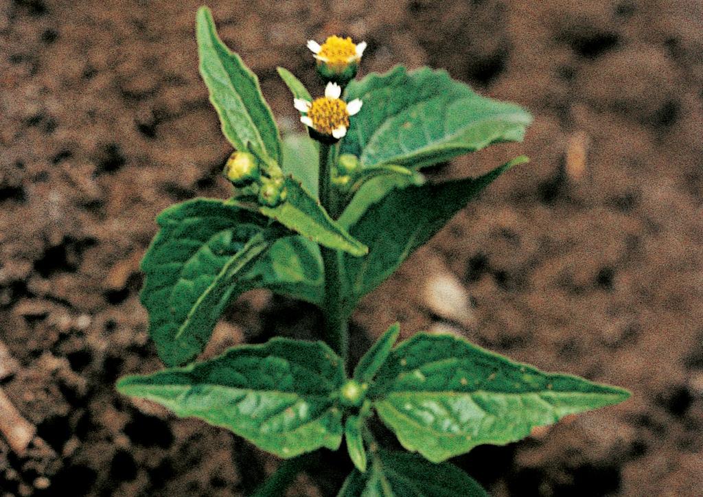 Galinsoga parviflora - kifejlett növény