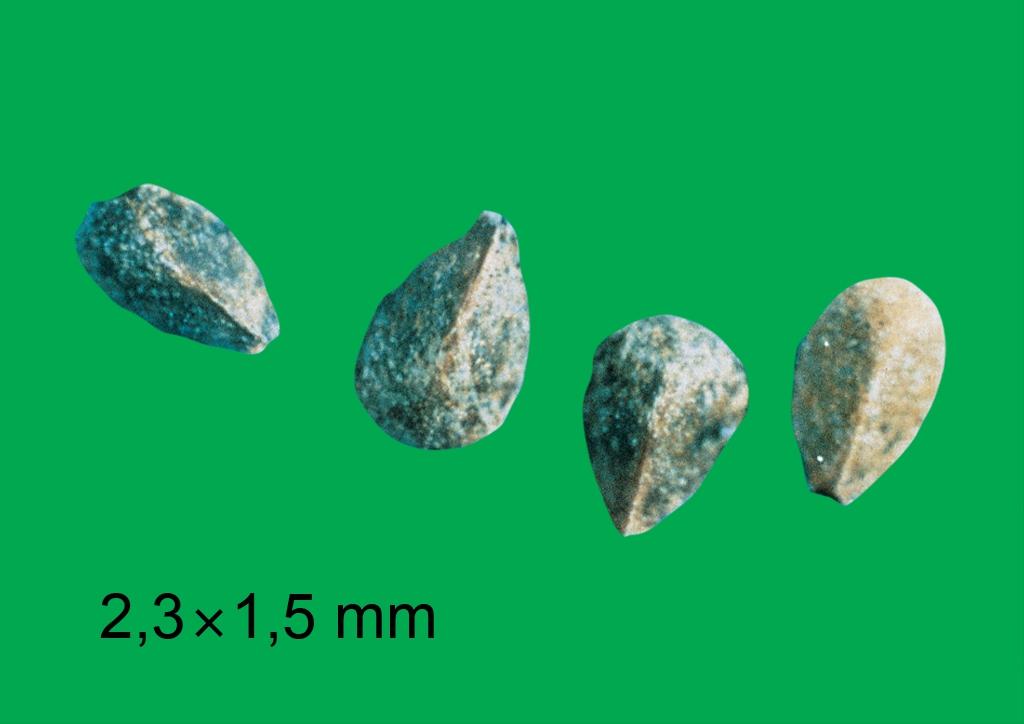 Galeopsis ladanum - mag
