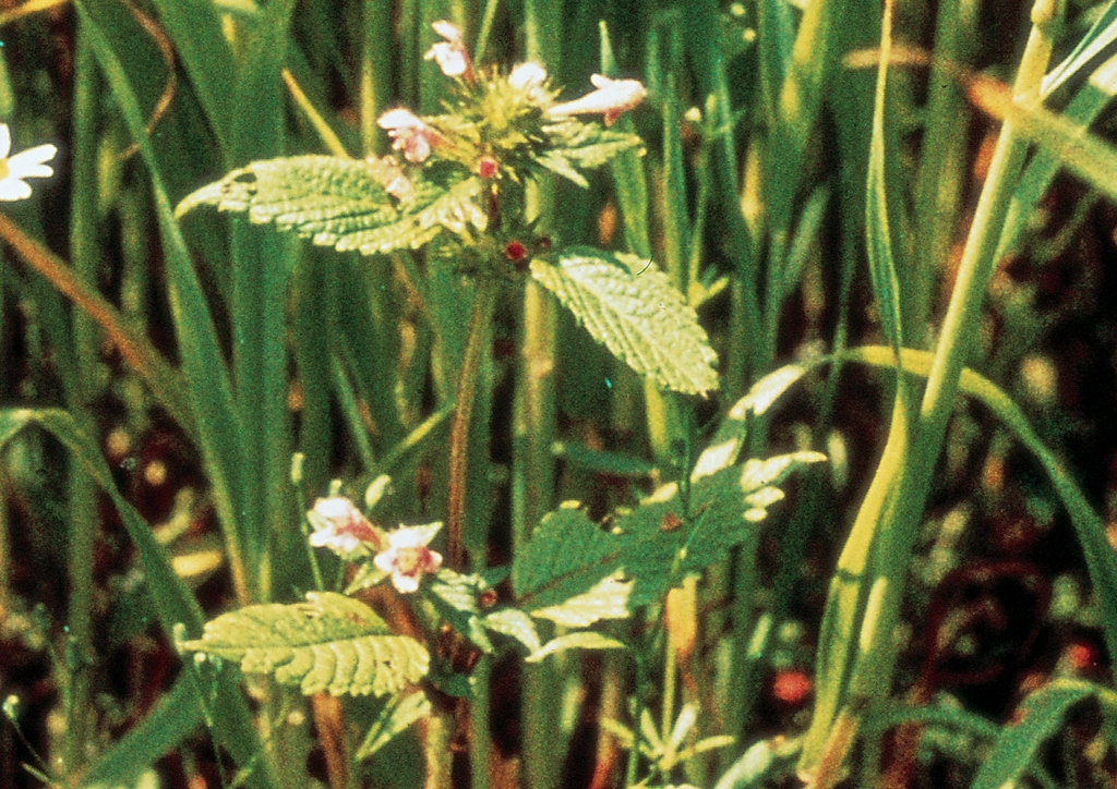 Galeopsis ladanum - kifejlett növény