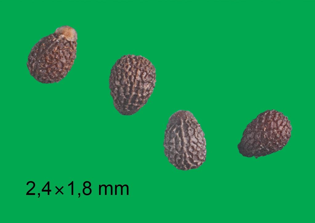 Euphorbia helioscopia - mag