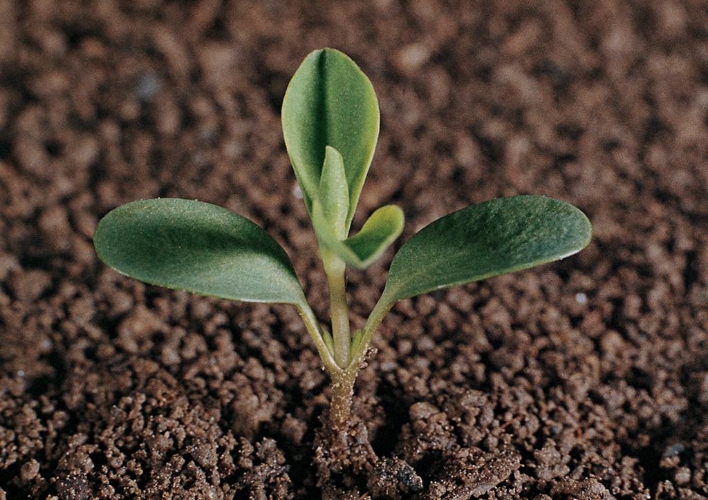 Euphorbia helioscopia - csíranövény